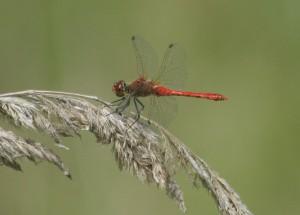 Bloedrode Heidelibel 1