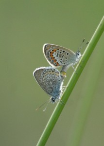Heideblauwtje parend 1