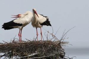 Ooievaars op nest 1
